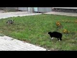 Собака напала на кота и получила пизды....